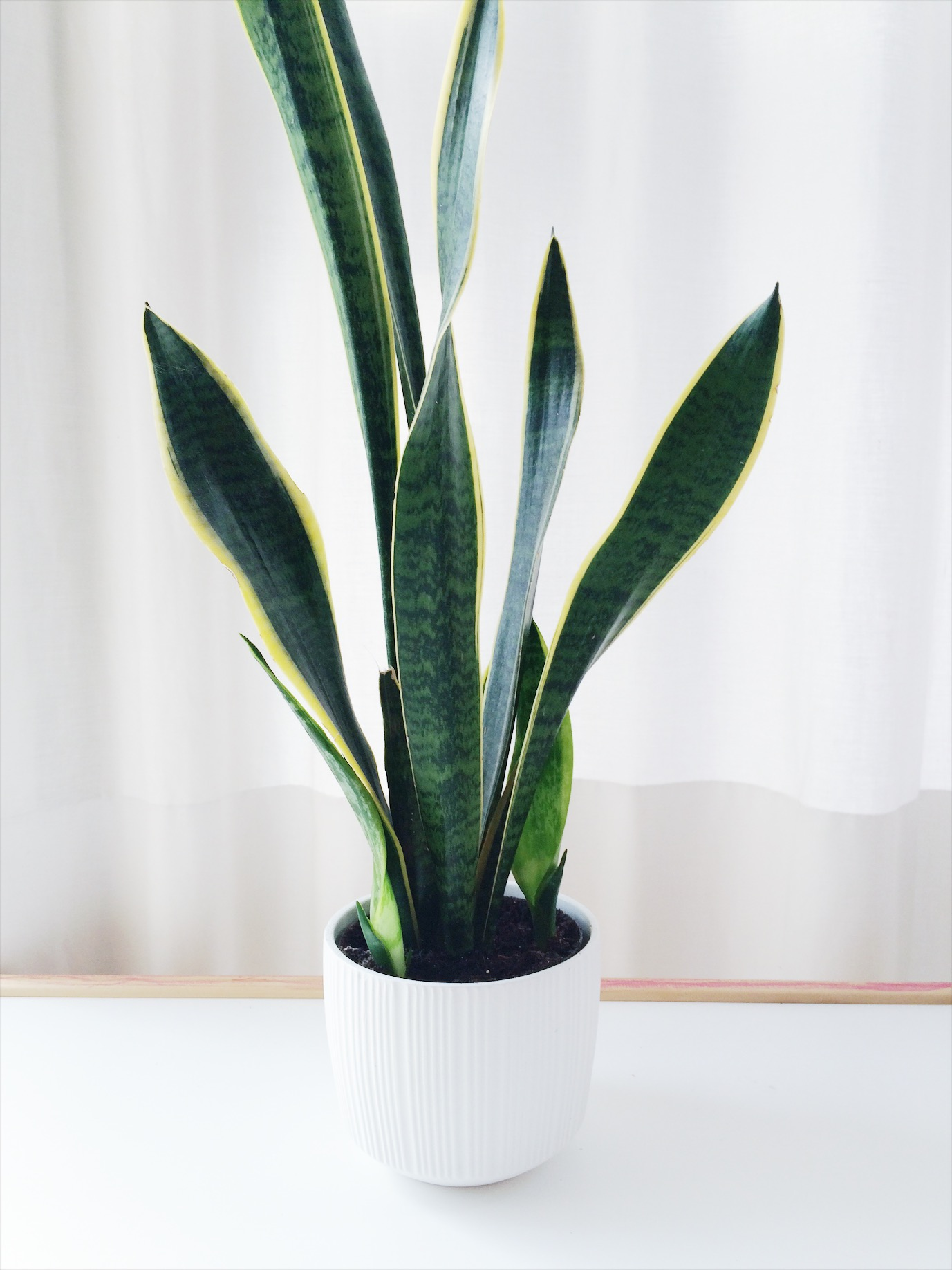 snake plant in a white ceramic pot in front of a white curtain