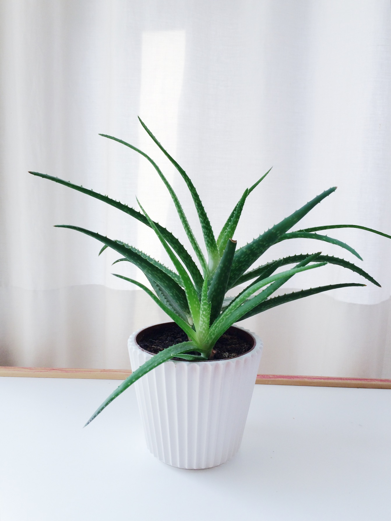 Aloe vera plant in white ceramic pot in front of a white curtain